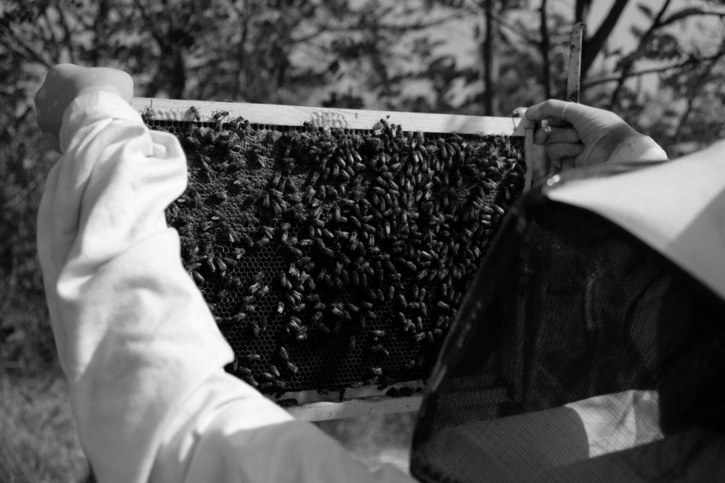 Osservazione delle api