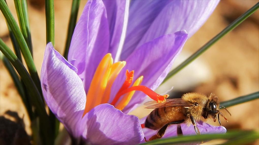 Fiore di zafferano e ape
